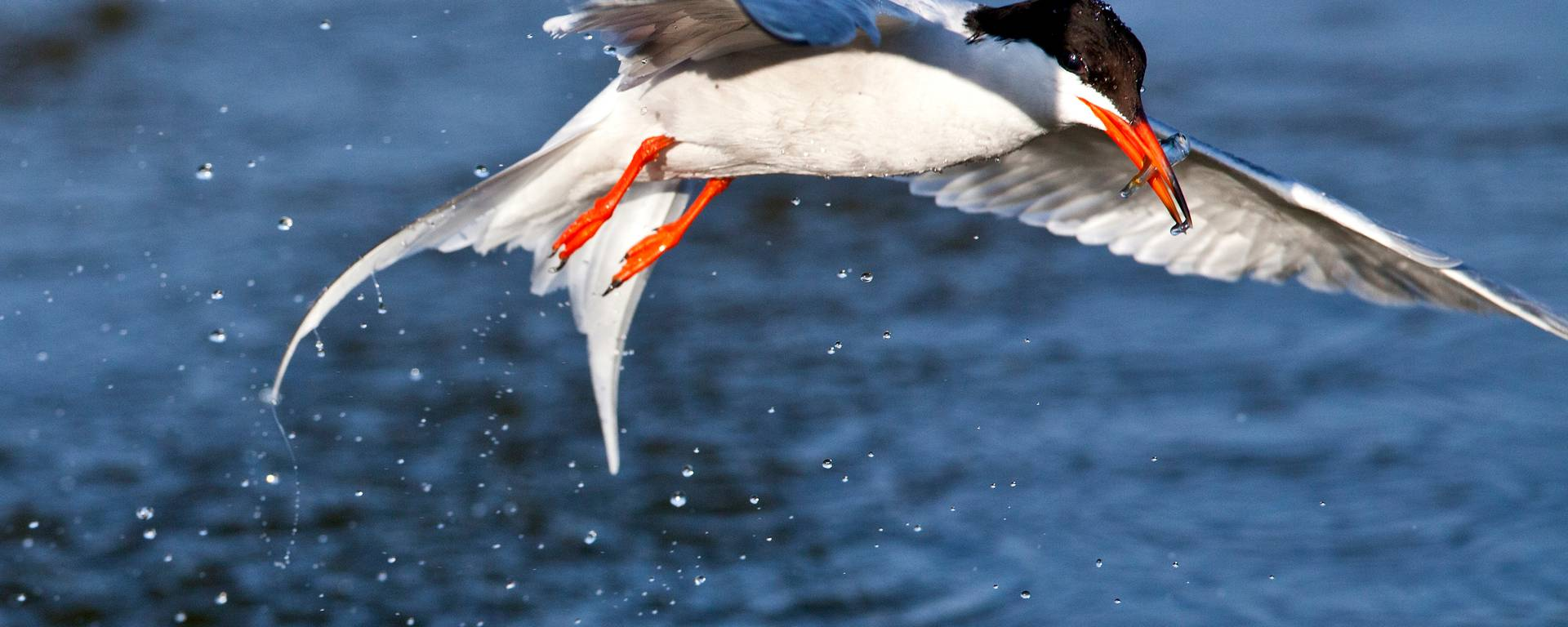 Oiseau zau dessus de l'eau
