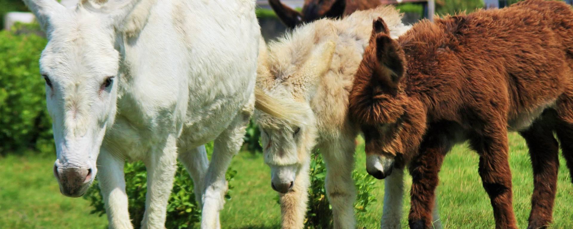 Les ânes de l'Île de Ré, Saint-Martin-de-Ré