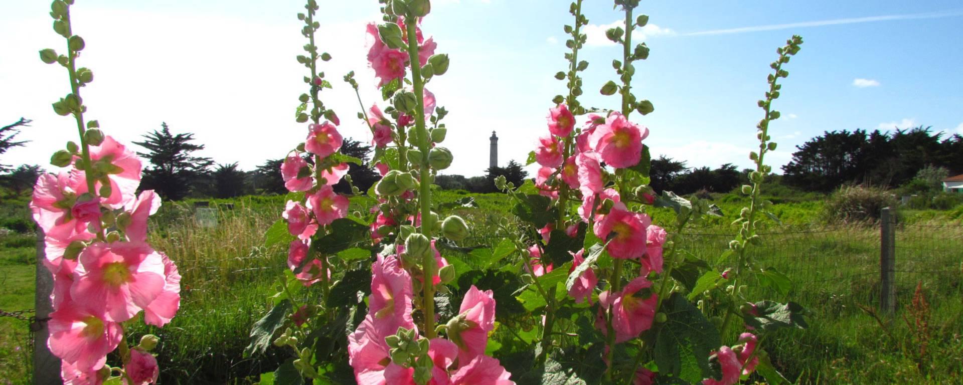 Les roses trémières de l'Ile de Té
