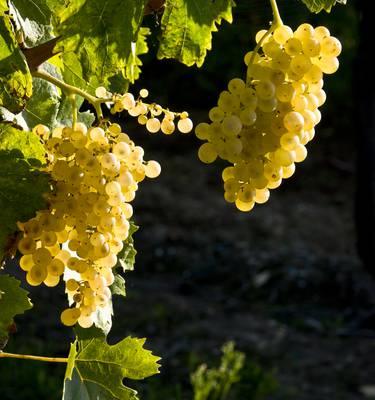 Les vignes de l'Ile de Ré par François Blanchard