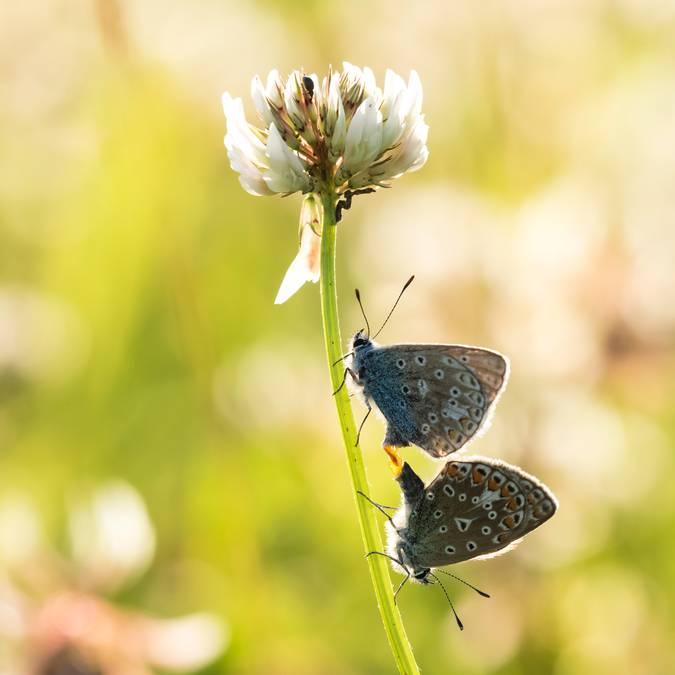 Les papillons de l'Ile de Ré